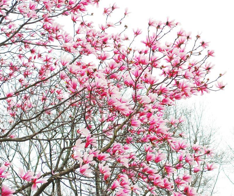 Fleurs D'arbre De Magnolia De Source Image stock - Image ...