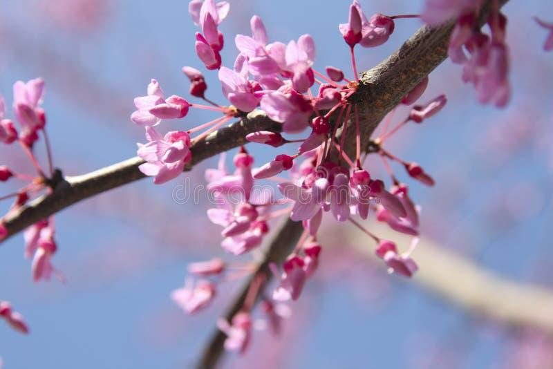 Fleurs d'arbre de Redbud photo stock