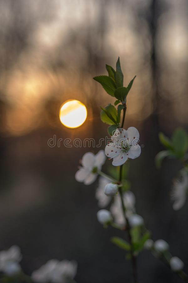 Fleurs d'arbre de ressort au coucher du soleil photos libres de droits