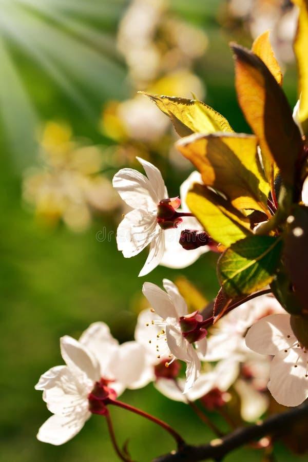 Fleurs d'arbre fruitier de ressort photographie stock
