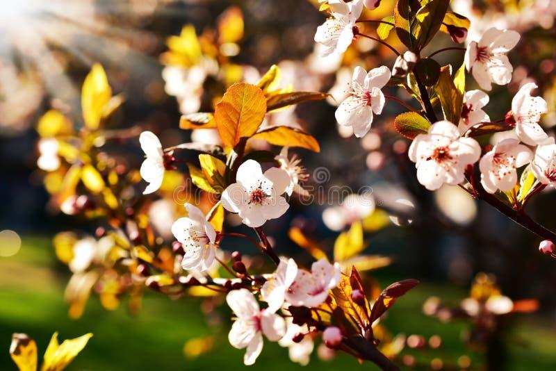 Fleurs d'arbre fruitier de ressort dans la lumière de coucher du soleil image stock