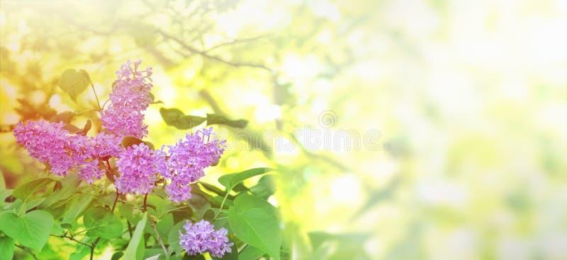 Fleurs d'arbre lilas image stock