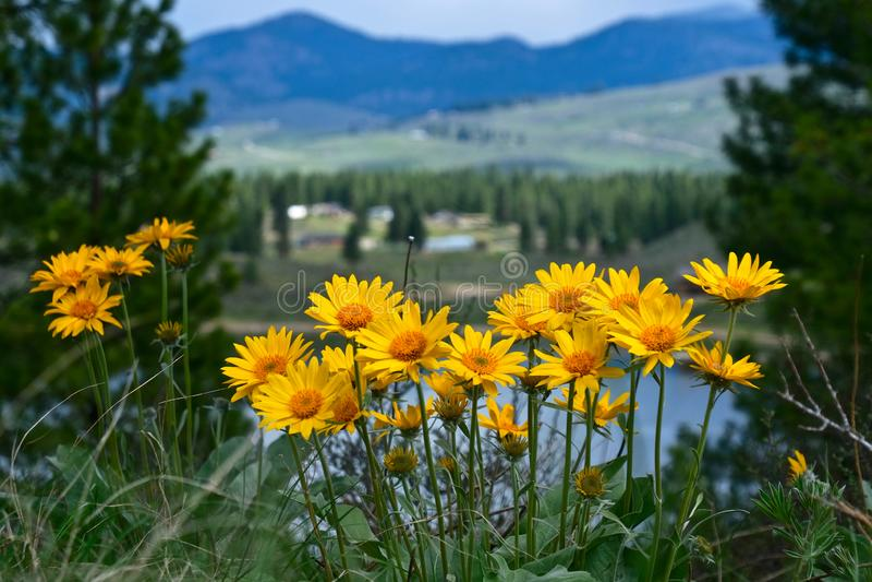 Fleurs d'arnica sur la colline au-dessus de Winthrop images libres de droits