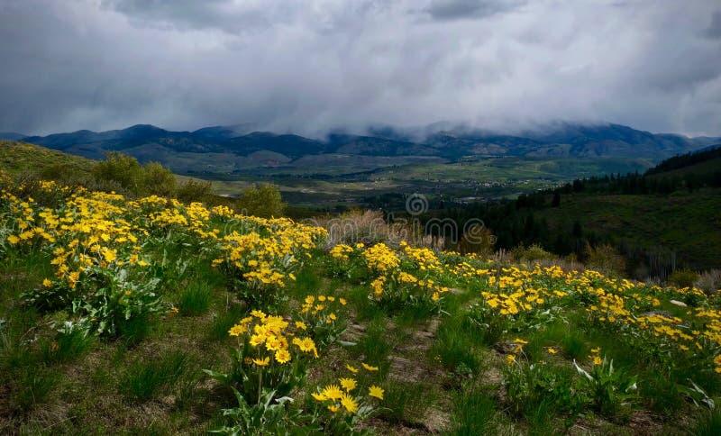 Fleurs d'arnica sur la colline au-dessus de Winthrop photo libre de droits