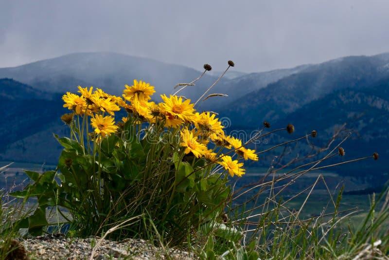 Fleurs d'arnica sur la colline au-dessus de Winthrop photographie stock libre de droits