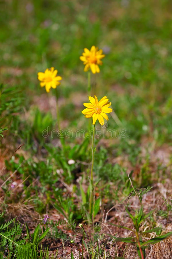 Fleurs d'Arnika image libre de droits