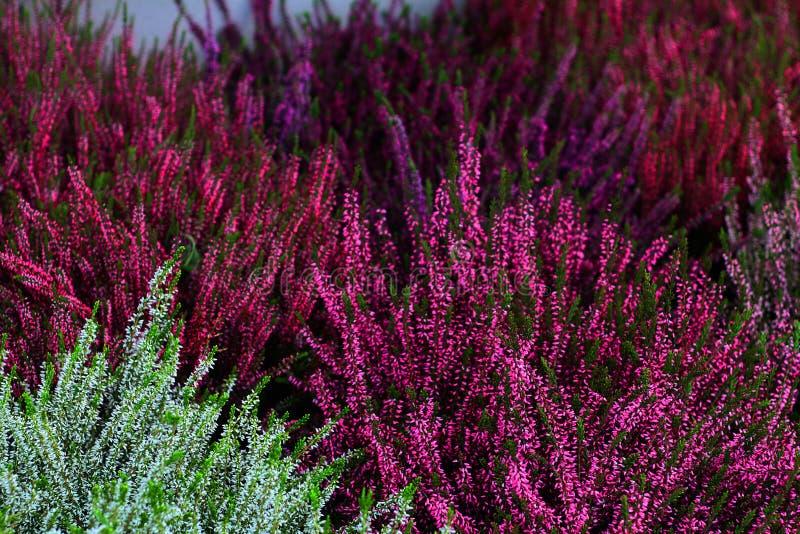 Fleurs d'automne de bruyères photos stock