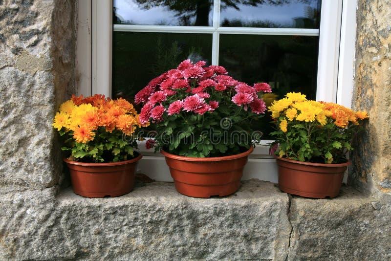 Fleurs d'automne de chrysanthème, décorations images stock
