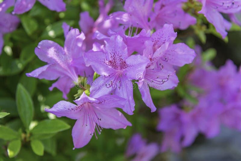 Fleurs d'azalées image libre de droits