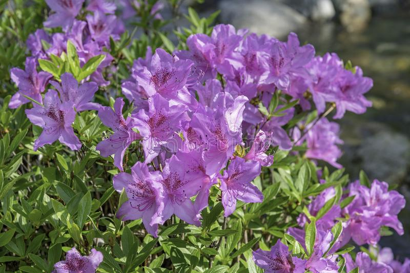 Fleurs d'azalées photographie stock