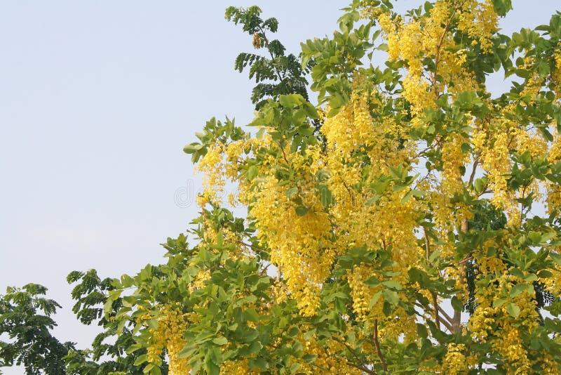 Fleurs d'or de douche image stock