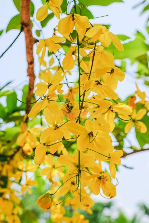 Fleurs d'or de douche photo libre de droits