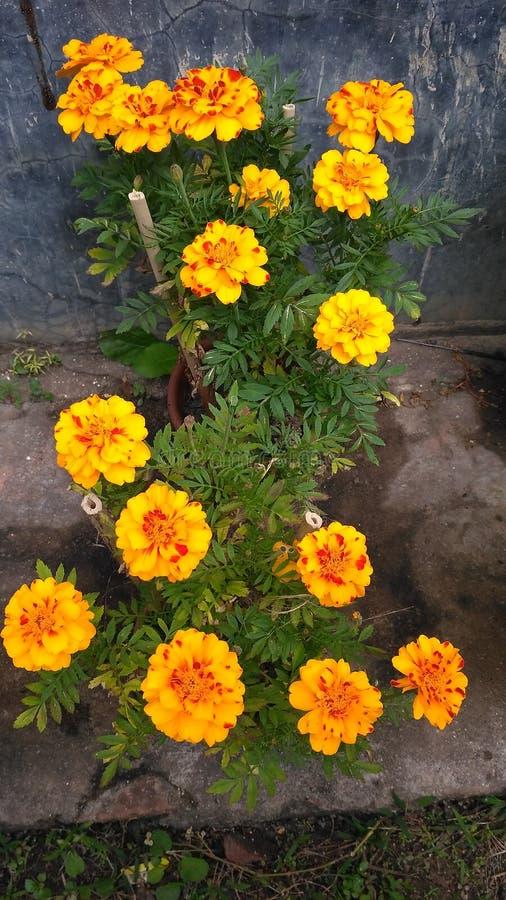 Fleurs d'or de Meri photos stock