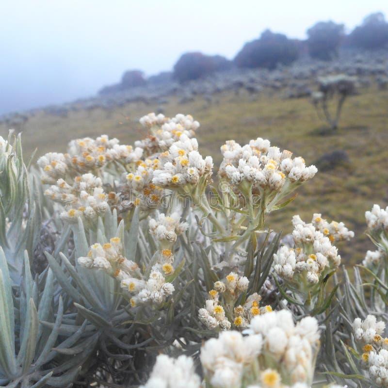 Fleurs d'edelweiss photo libre de droits