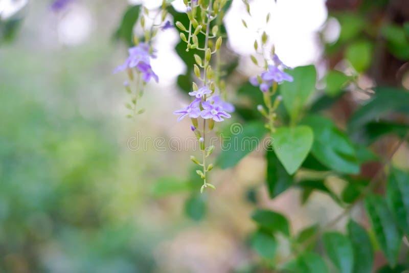 Fleurs d'erecta de Duranta sur le fond photos stock