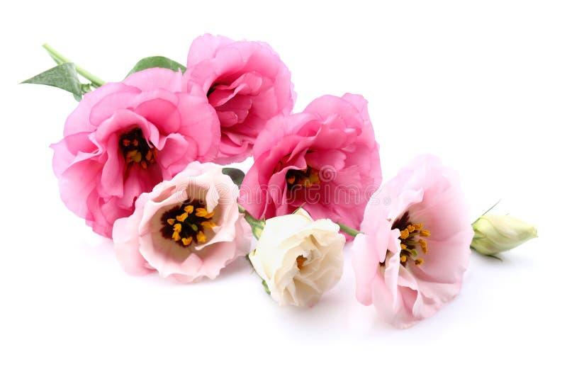 Fleurs d'Eustoma photographie stock libre de droits
