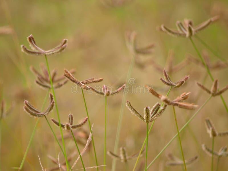 Fleurs d'herbe de rallonge coudée sur le fond de Doux-foyer photo stock