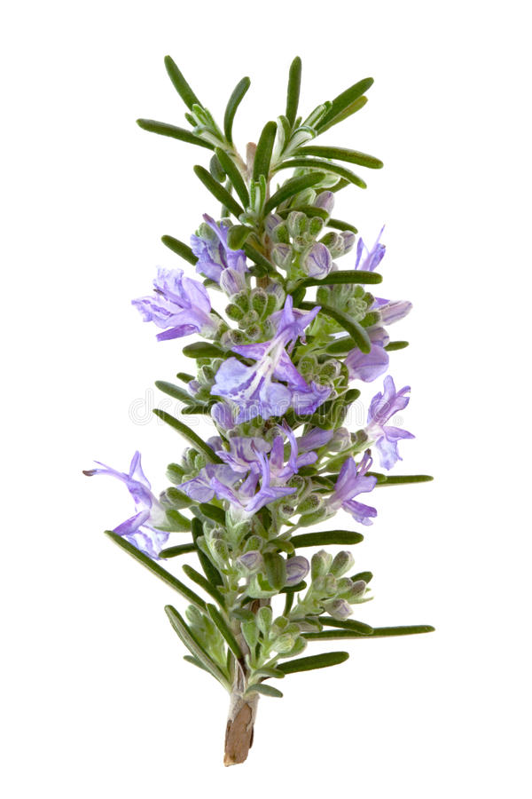 Fleurs d'herbe de Rosemary photos stock