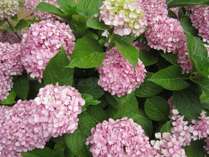 Fleurs d'hortensia photo stock
