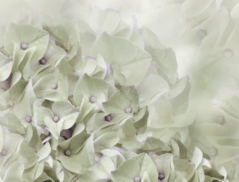 Fleurs d'hortensia Fond vert clair collage floral Composition de fleur Plan rapproch? image stock