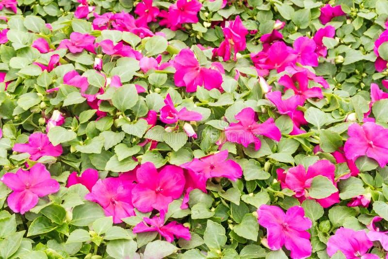 Fleurs d'impatiens de rose de plan rapproché photo libre de droits