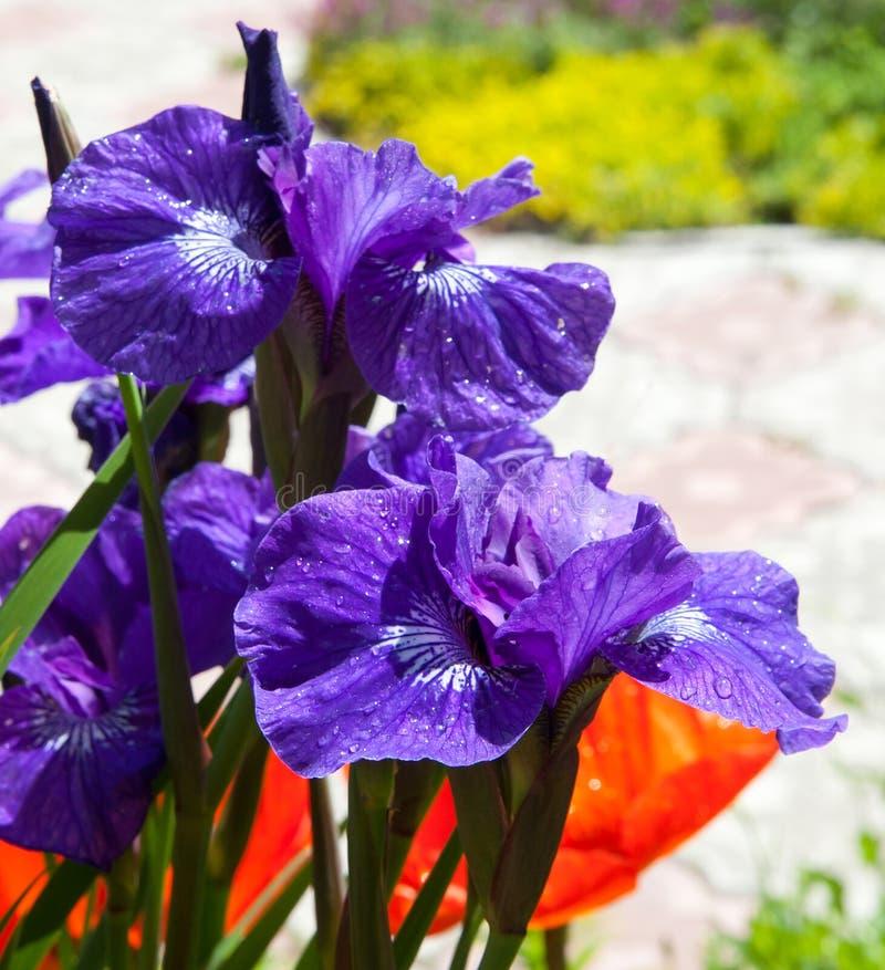 Fleurs d'iris photo stock