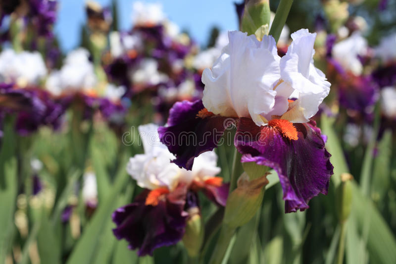 Fleurs d'iris image stock