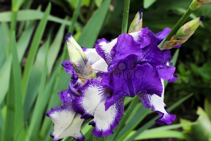 Fleurs d'iris Beau lilas et iris blancs au printemps Carte de voeux ou invitation Fleurs fraîches sensibles image libre de droits