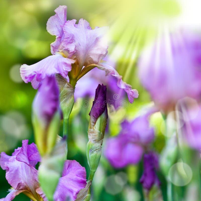 Fleurs d'iris de source photos libres de droits