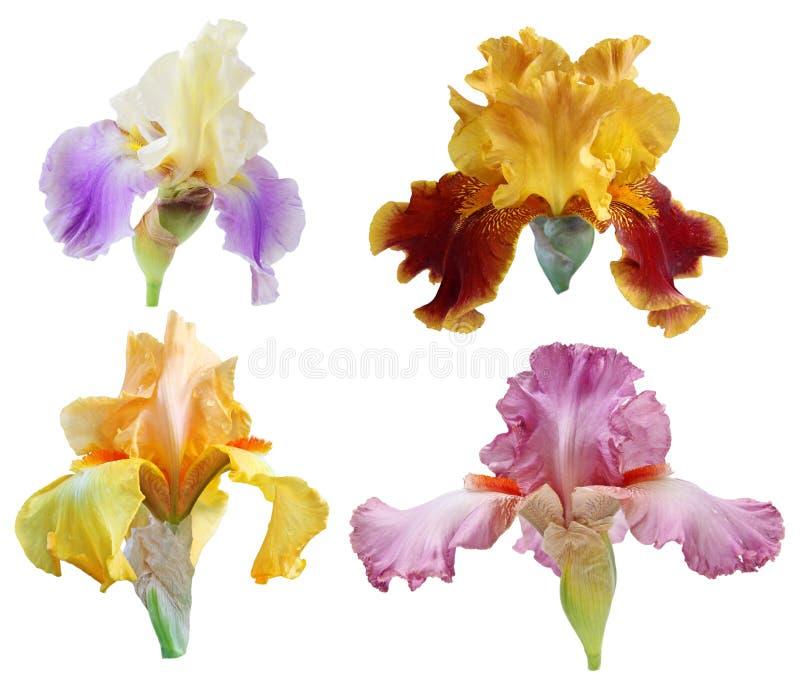 Fleurs d'iris réglées photo stock