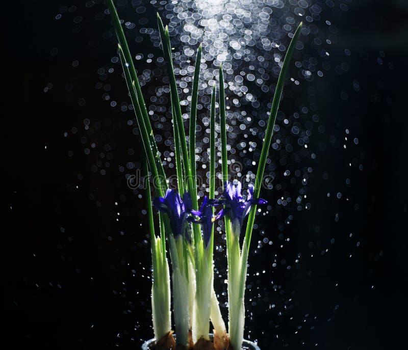 Fleurs d'iris sur un fond noir images stock