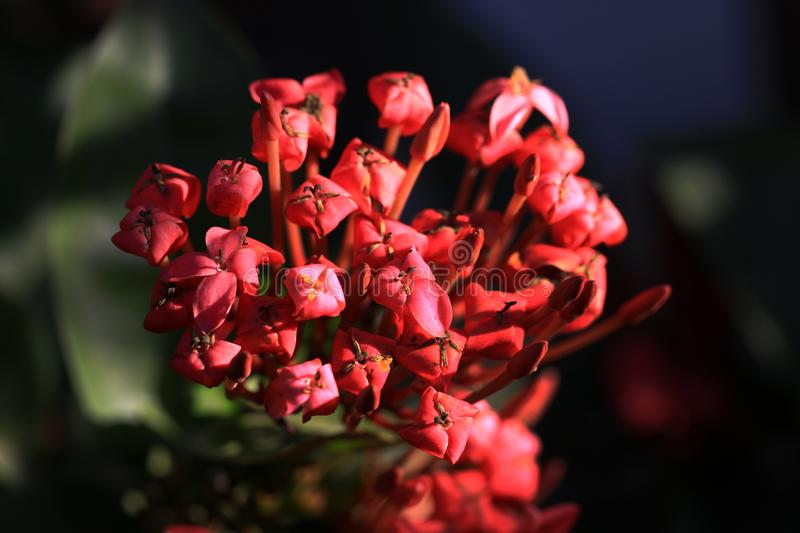Fleurs d'Ixora photo stock