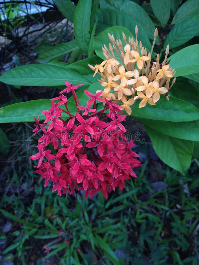 Fleurs d'Ixora photo stock