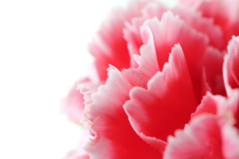 Fleurs d'oeillet étroites sur le fond image stock