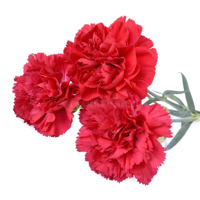 Fleurs d'oeillet image stock