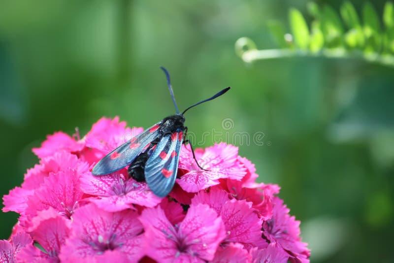 Fleurs d'oeillets en soleil Les filipendulae de Zygaena de burnet de six-tache - une mite de jour-vol photos libres de droits