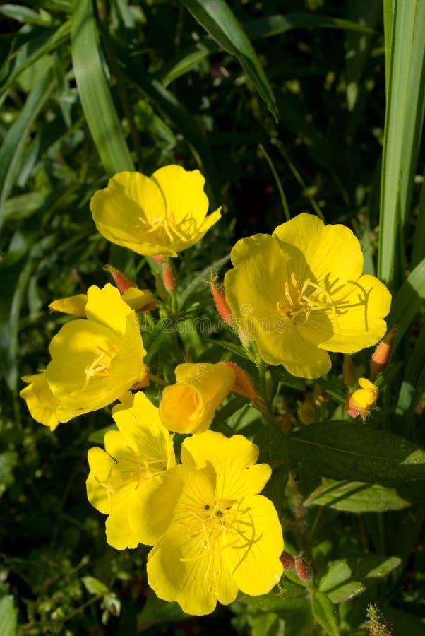 Fleurs d'oenothère biennale photographie stock libre de droits