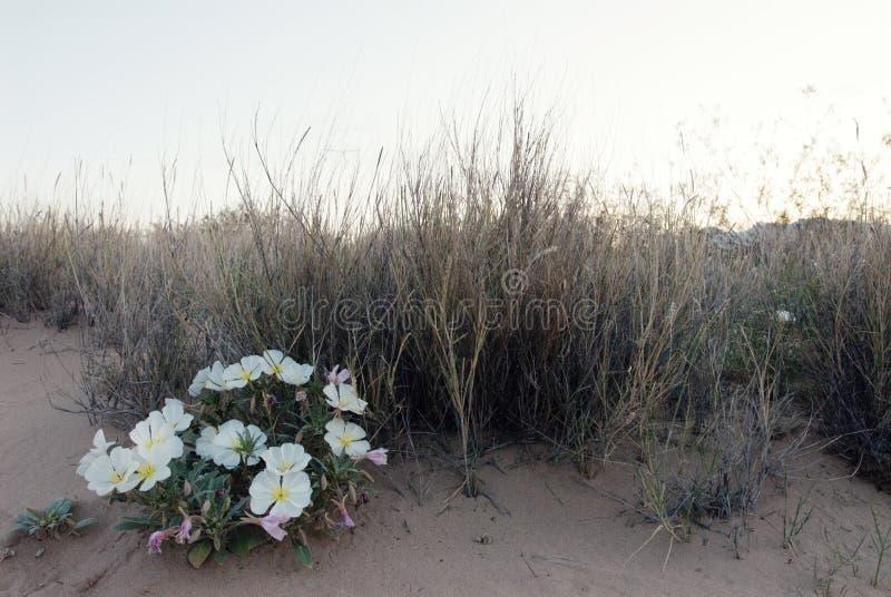 Fleurs d'oenoth?re biennale de paysage de d?sert images libres de droits
