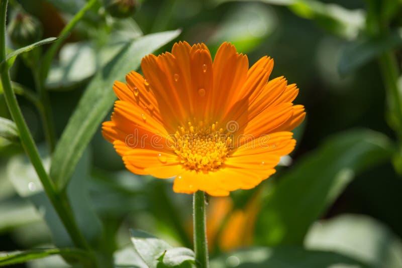 Fleurs d'officinale de Calendula sur le coucher du soleil photographie stock libre de droits