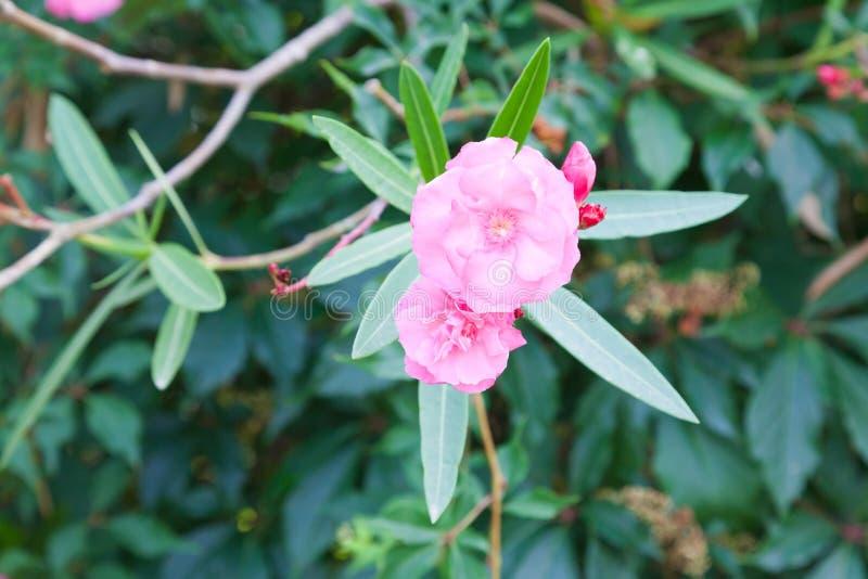 Fleurs d'oléandre rose photos libres de droits