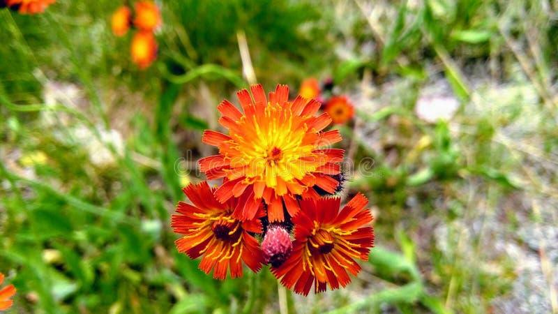 Fleurs d'orange sauvage au parc provincial d'algonquin image stock
