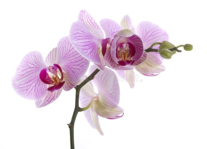 Fleurs d'orchidée photos libres de droits
