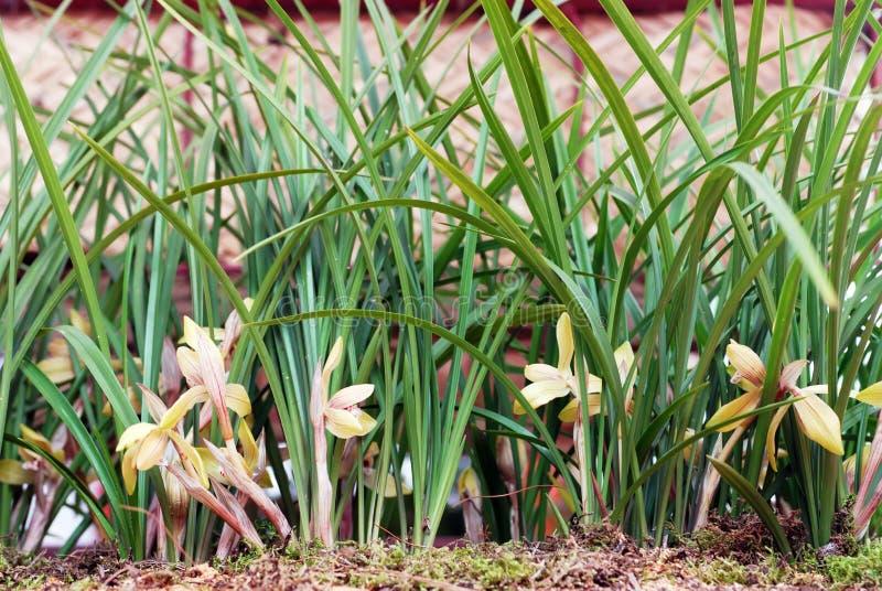 Fleurs d'orchidée de Cymbidium ou de bateau images stock