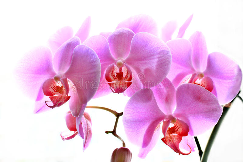 Fleurs d'orchidée rose d'isolement image libre de droits