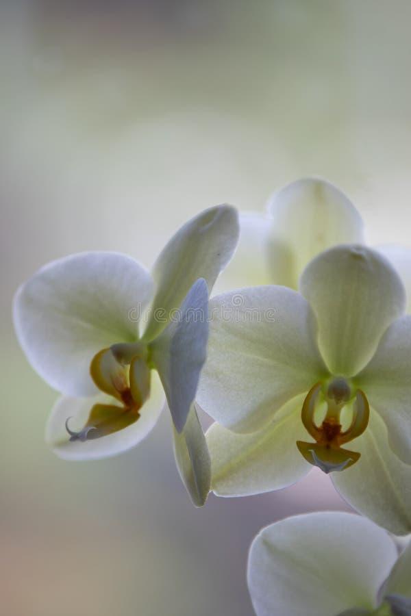 Fleurs d'orchidée sur Pale Background photographie stock