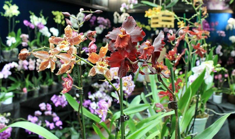 Fleurs d'orchidées des variétés rares photo libre de droits