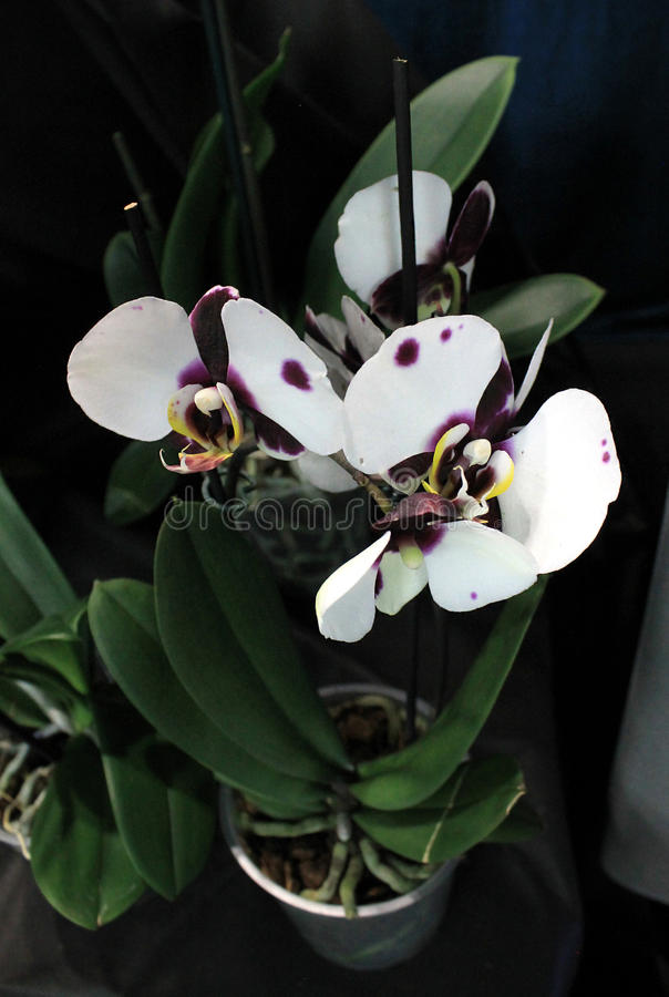 fleurs d 39 orchid es des vari t s rares image stock image 88662353. Black Bedroom Furniture Sets. Home Design Ideas