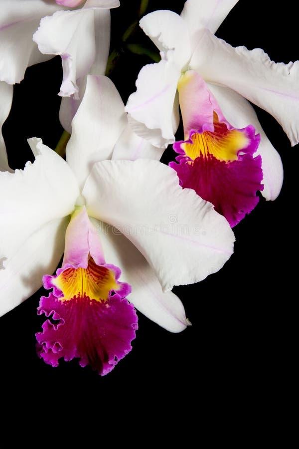 Fleurs d'orchidées sur le noir (Catt photographie stock libre de droits