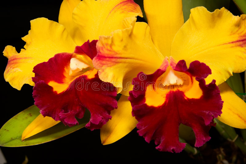 Fleurs d'orchidées sur le noir (Catt photo libre de droits