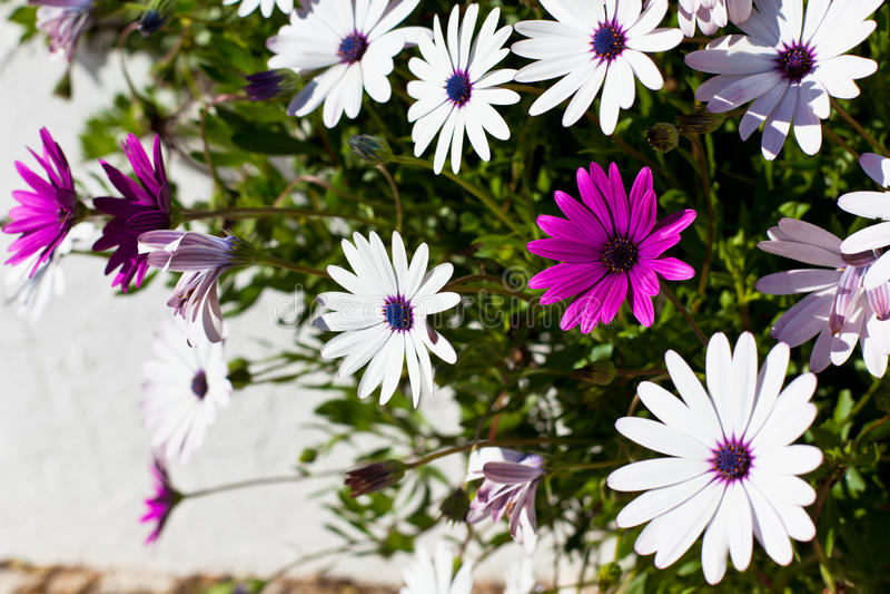 Fleurs d'Osteospermum chez Sunny Day photo stock
